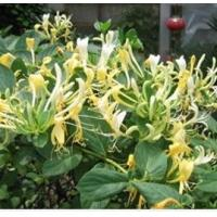 Quality Honeysuckle flower Extract for sale