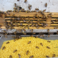 Quality 21kg/Carton Natural Pure Bee Pollen Bee Product local bee pollen for sale