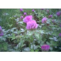 Quality Red clover for sale