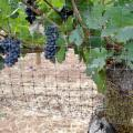 Quality Grape Tree Bird Netting for sale